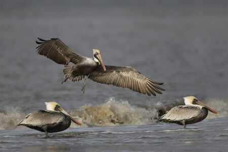 Brown Pelican (Pelecanus occidentalis) preparing to land on a beach next to two other pelicans - Jekyll Island, GA 免版税图像