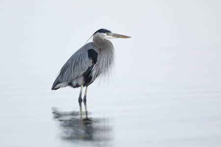 Great Blue Heron (Ardea herodias)  Jekyll Island, GA 免版税图像