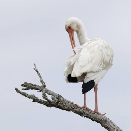 White Ibis (Eudocimus albus) preening its feathers on a dead branch - Jekyll Island, GA 写真素材 - 140317141