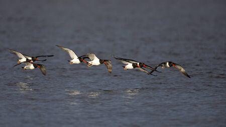 American Oystercatchers (Haematopus palliatus) in flight - Jekyll Island, GA