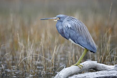 Tricolored Heron (Egretta tricolor) perched on a log in a marsh- Jekyll Island, GA 스톡 콘텐츠 - 140317260