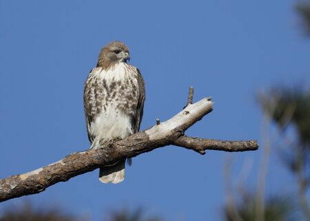Juvenile Red-tailed Hawk (Buteo jamaicensis) perched on a dead branch - Jekyll Island, GA