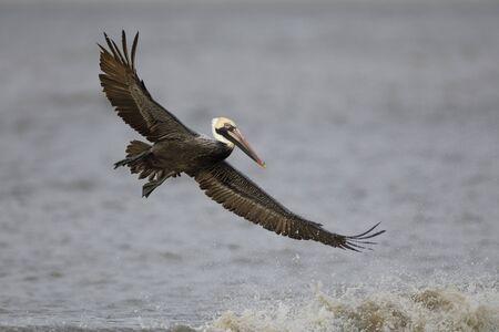 Brown Pelican (Pelecanus occidentalis) soaring over an ocean wave - Jekyll Island, GA