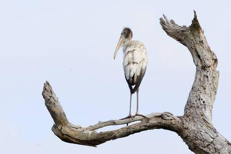 Wood Stork (Mycteria americana) perched in a dead tree - Jekyll Island, GA