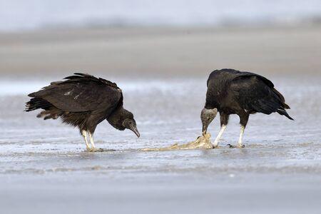 Black Vultures (Coragyps atratus) scavenging a fish carcass - Jekyll Island, GA 免版税图像