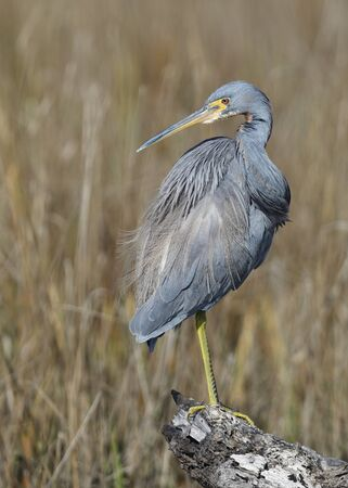 Tricolored Heron (Egretta tricolor) perched on a log in a marsh- Jekyll Island, GA