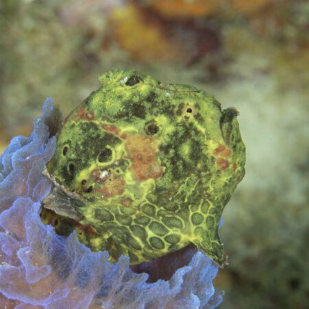Green Longlure Frogfish (Antennarius multiocellatus) sitting in an Azure Vase Sponge - Bonaire