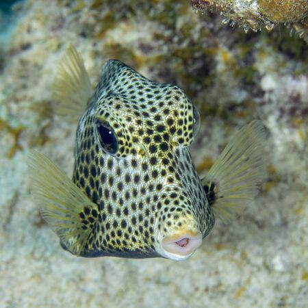Spotted Trunkfish (Lactophrys bicaudalis) foraging in the sand - Bonaire