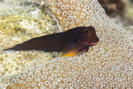 Redlip Blenny (Ophioblennius atlanticus) perched on a coral head - Bonaire