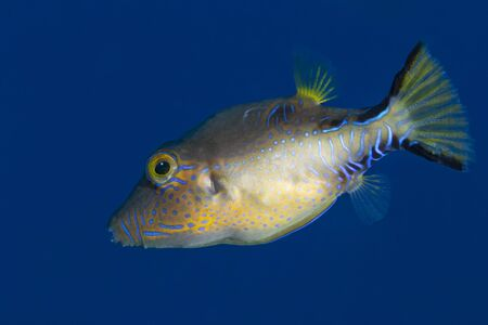 Sharpnose Puffer (Canthigaster rostrata) - Bonaire