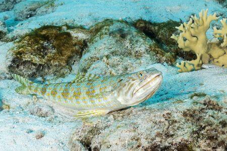 Sand Diver (Synodus intermedius) lying in wait to ambush its prey - Bonaire