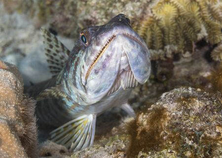 Sand Diver (Synodus intermedius) lying in wait to ambush its prey - Bonaire 스톡 콘텐츠 - 141657618