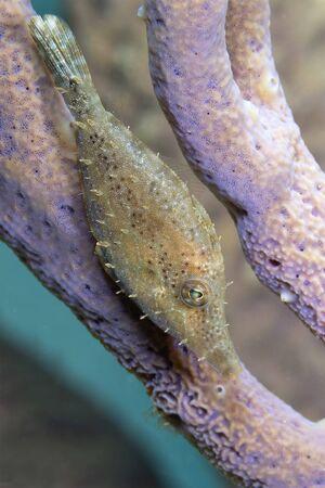 Slender Filefish (Monacanthus tuckeri) hiding in a gorgonian - Bonaire