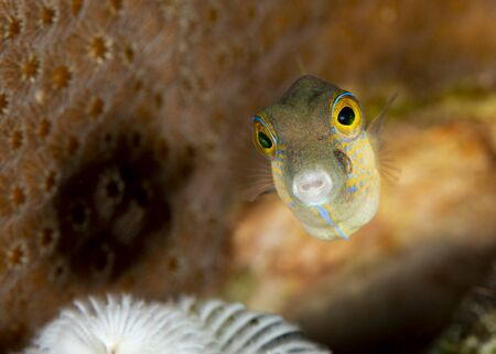 Sharpnose Puffer (Canthigaster rostrata) swimming over a coral reef - Bonaire