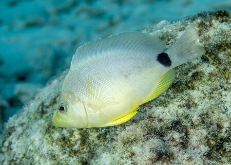 Butter Hamlet (Hypoplectrus unicolor) swimming over a coral reef - Bonaire