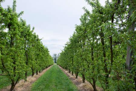 rural countryside: Peach trees rows in Italian rural countryside