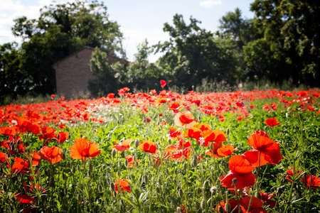 Red poppies on green weeds fields during spring in Italian countryside Stock Photo