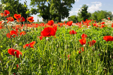 Red poppies on green weeds fields during spring in Italian countryside photo