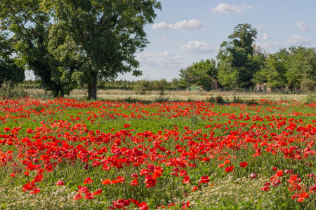 Red poppies on green weeds fields during spring in Italian countryside Standard-Bild