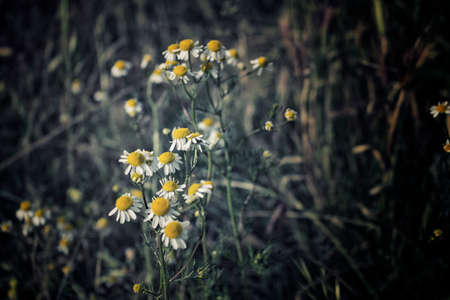 matricaria recutita: Chamomile flowers on green weeds background in Italian countryside Stock Photo