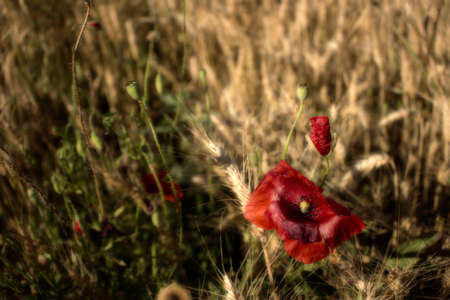 Red poppies on yellow weeds fields during spring in Italian countryside photo