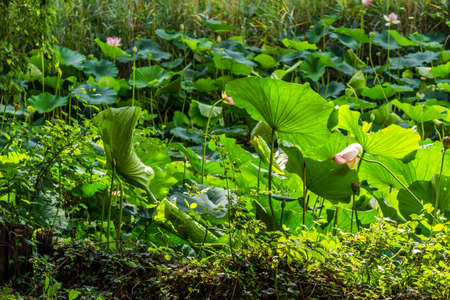 loto: The natural reserve Parco del loto Lotus green area in Italy: a wide pond in which lotus flowers (nelumbo nucifera) and water-lilies grow freely creating a beautiful natural environment. Stock Photo