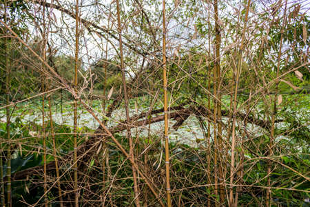 loto: Woven branches wall in the natural reserve Parco del loto Lotus green area in Italy: a wide pond in which lotus flowers (nelumbo nucifera) and water-lilies grow freely creating a beautiful natural environment.