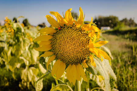 Closeup of a sunflower (Helianthus annuus) in a field of sunflowers in a sunny summer day in Italy: yellow petals, orange and yellow stame with dark yellow pistil. White spotted Light green curly leaves. Red Ladybug on the flower photo