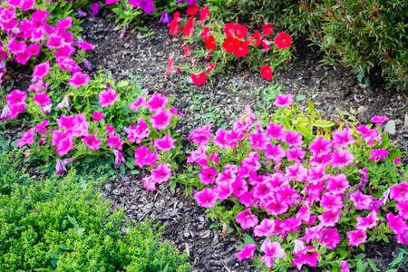 petunias: Fuchsia and red petunias on green bushes