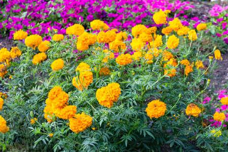 petunias: Fuchsia petunias and yellow tagetes on green weeds