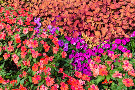 lizzie: Close up of red and purple impatiens flowers with dark green and orange leaves