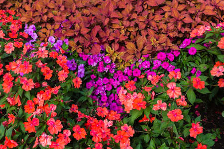impatiens: Close up of red and purple impatiens flowers with dark green and orange leaves
