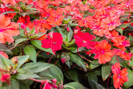 lizzie: Close up of red impatiens flowers with dark green leaves