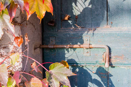 mounting: Red, green and orange leaves of a Boston ivy or parthenocissus tricuspidata veitchii  in autumn mounting an old grunge door with rusty bolt in a tipical farmer house in Italian countryside