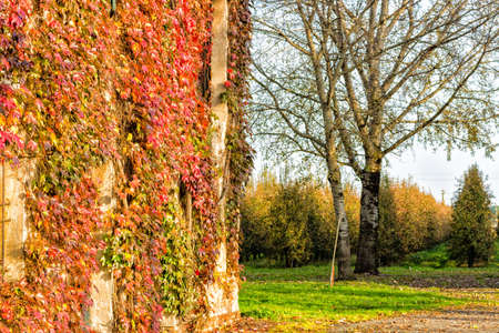 Red, green and orange leaves of a Boston Ivy, parthenocissus tricuspidata veitchii,  in autumn on an old grunge wall in a tipical farmer house in Italian countryside