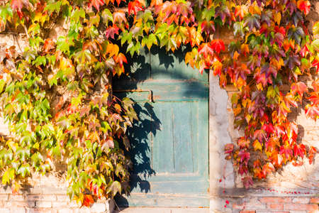 Red, green and orange leaves of a Japanese Creeper or parthenocissus tricuspidata veitchii  in autumn framing and surrounding an old grunge door with rusty bolt in a tipical farmer house in Italian countryside Stock fotó