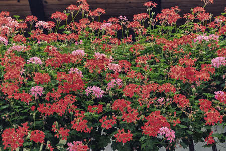 hanging flowers of red and pink geraniums with green leaves stock