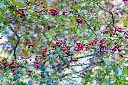 pinewood: Wild red berries on brown branches with green leaves in the Pinewood forest on the Pialassa della Baiona brackish lagoon near Ravenna in Italy