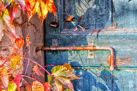 door bolt: Red, green and orange leaves of a Boston ivy or parthenocissus tricuspidata veitchii  in autumn mounting an old grunge door with rusty bolt in a tipical farmer house in Italian countryside