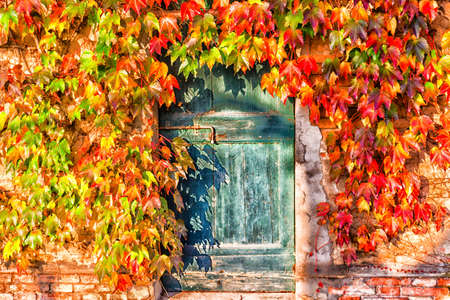 Red, green and orange leaves of a Japanese Creeper or parthenocissus tricuspidata veitchii  in autumn framing and surrounding an old grunge door with rusty bolt in a tipical farmer house in Italian countryside Banco de Imagens