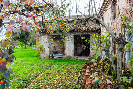 diospyros: Ruined farmhouse and persimmon,  Diospyros kaki, tree with brown  branches, orange fruit and  autumn leaves in Italian countryside