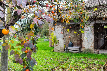 Ruined farmhouse and persimmon,  Diospyros kaki, tree with brown  branches, orange fruit and  autumn leaves in Italian countryside