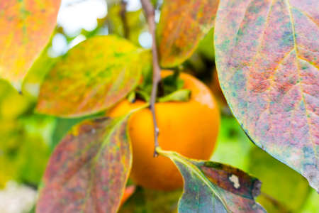 diospyros: Persimmon,  Diospyros kaki, tree: brown  branches and orange fruit among green leaves in Italian countryside Stock Photo