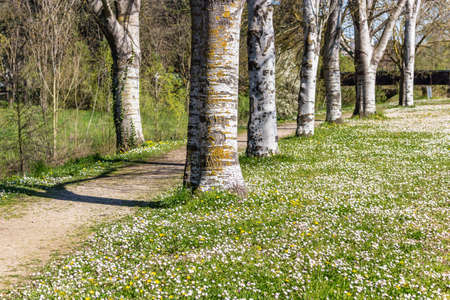 vibrancy: the dreamy vibrancy of one of the first days of Spring in a country road bordered by white birch trees next to a garden of daisies and dandelions Stock Photo