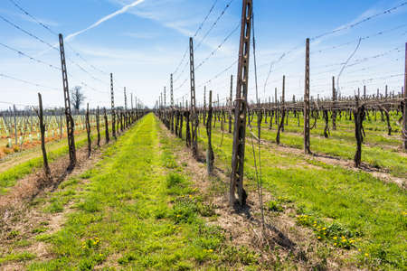 planted: fields of newly planted vines and organized into geometric rows according to the modern agriculture