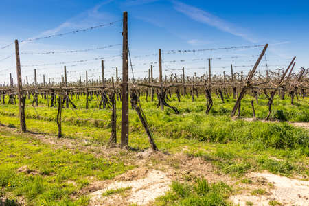 hatchery: fields of newly planted vines and organized into geometric rows according to the modern agriculture