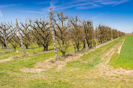 vivarium: fields of abate pears trees, orchards organized into geometric rows according to the modern agriculture