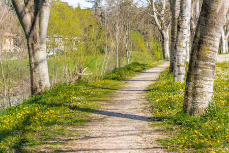 bordered: the dreamy vibrancy of one of the first days of Spring in a country road bordered by white birch trees next to a garden of daisies and dandelions Stock Photo
