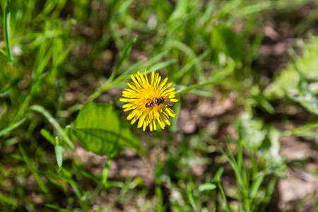 industriousness: Bee on dandelion flower from top