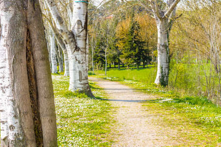 birch trees: the dreamy vibrancy of one of the first days of Spring in a country road bordered by white birch trees next to a garden of daisies and dandelions Stock Photo